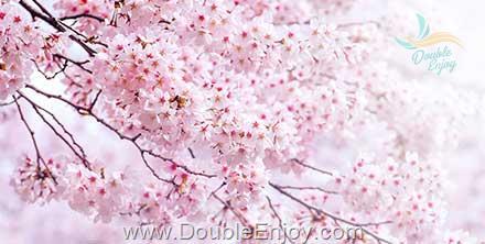 DE395 : โปรแกรมทัวร์เกาหลี ปั่นเรียวไบท์ เทศกาลดอกซากุระบาน 5 วัน 3 คืน (TG)