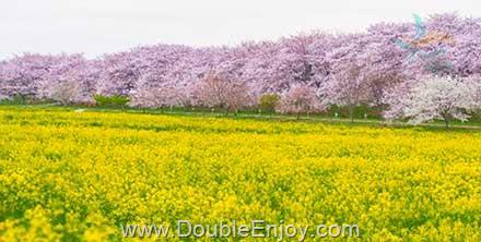 DE942 : โปรแกรมทัวร์ญี่ปุ่น โตเกียว ชมดอกคาโนร่า + ซากุระเมืองไซตามะ 5 วัน 3 คืน (SL)