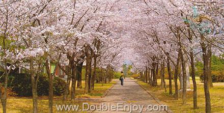 DE206 : โปรแกรมทัวร์เกาหลี เกาะนามิ สวนสนุก EVERLAND ชมดอกซากุระ 5 วัน 3 คืน (ZE)