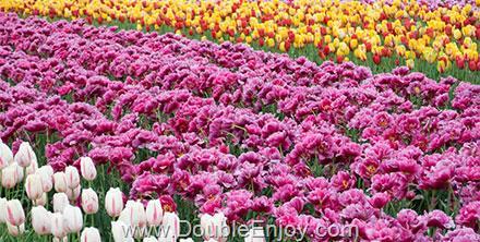 DE223 : โปรแกรมทัวร์เกาหลี สวนสนุกเอเวอร์แลนด์ เทศกาลดอกทิวลิป 5 วัน 3 คืน (XJ)